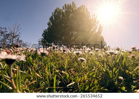 meadow with daisy flowers in early spring. Back light. - stock photo