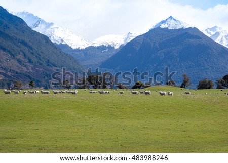 Meadow with green grass and sheeps, New Zealand