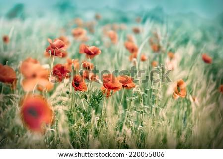 Meadow with poppy flowers - stock photo