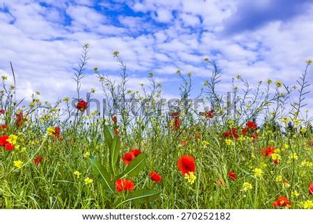 meadow with poppy flowers under blue cloudy sky - stock photo