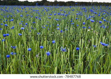 Meadow with rye and cornflowers