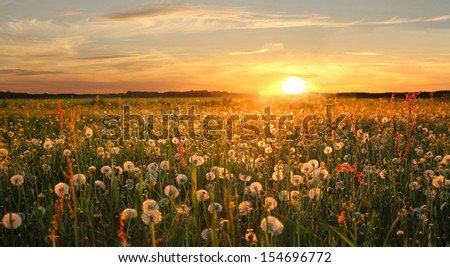Meadow with withered dandelions at sunset - stock photo
