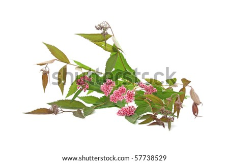 Meadowsweet (Spiraea) - stock photo