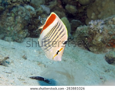 Meal time - butterflyfish hunting on passing jellyfish - stock photo