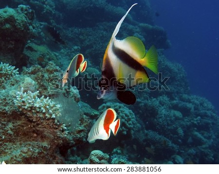 Meal time: butterflyfish sharing a jellyfish drifting by - stock photo