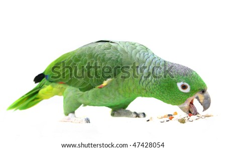 Mealy Amazon parrot (Amazona farinosa) eating of a white background