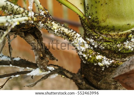 Mealybug and black ant on palm tree