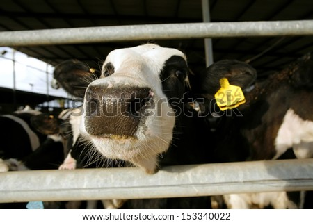 meat dairy breed cows on farm - stock photo
