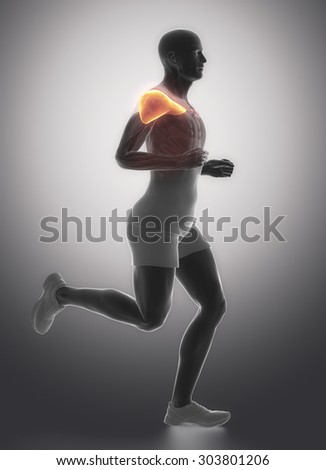 medial deltoid - human muscle anatomy - stock photo