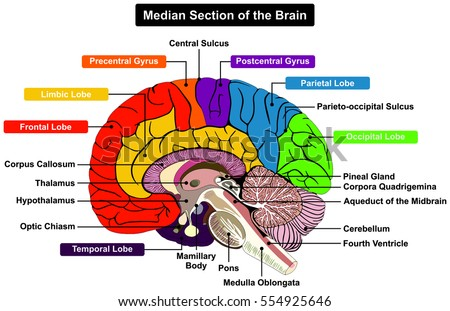 midbrain stock images, royalty-free images & vectors | shutterstock, Human Body