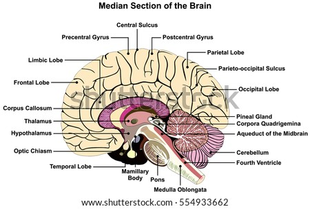 Median Section Human Brain Anatomical Structure Stock Illustration ...