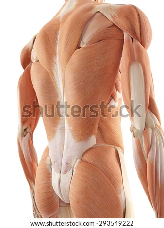 medical accurate illustration of the back muscles - stock photo