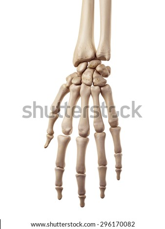 medical accurate illustration of the hand bones - stock photo