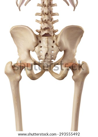 medical accurate illustration of the superior gemellus - stock photo