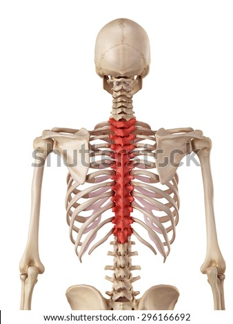 thoracic spine stock images, royalty-free images & vectors, Cephalic Vein
