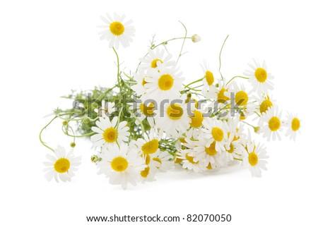 Medical chamomile on white background - stock photo