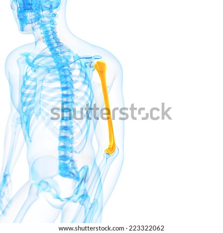 medical 3d illustration of the humerus