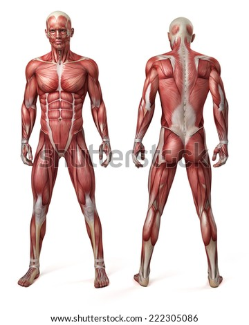 medical 3d illustration of the male muscular system - stock photo