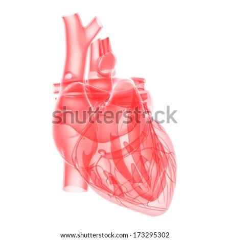medical illustration - transparent human heart - stock photo