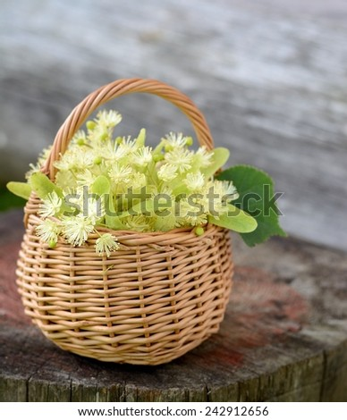 medical linden flowers harvest wicker basket on summer grass. Selective focus