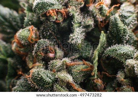 Medical marijuana cannabis, buds trichomes