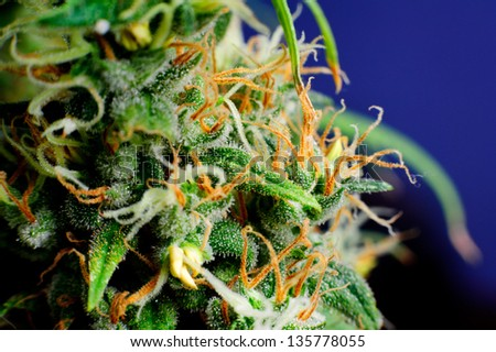 Medical marijuana plants flower macro