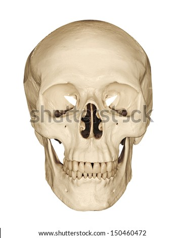 Medical model of a human skull isolated against a white background often used in colleges and universities for teaching anatomical science