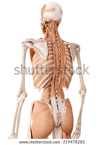 medically accurate anatomy illustration - back muscles - stock photo