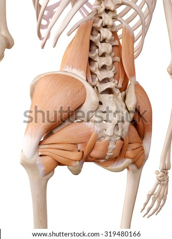 medically accurate anatomy illustration - hip muscles