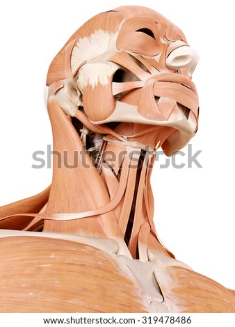 medically accurate anatomy illustration - neck muscles - stock photo