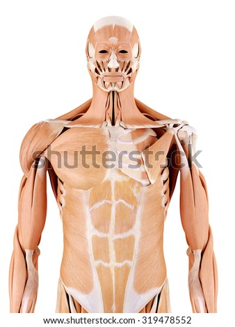 medically accurate anatomy illustration - shoulder - stock photo
