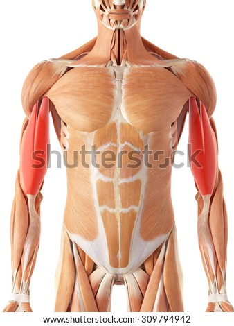 medically accurate illustration of the biceps - stock photo