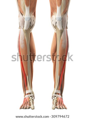 extensor digitorum longus stock images, royalty-free images, Human Body