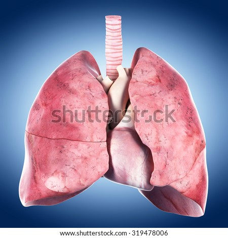 medically accurate illustration of the heart and lung - stock photo