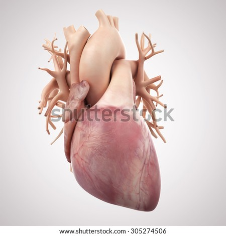 medically accurate illustration of the human heart - stock photo