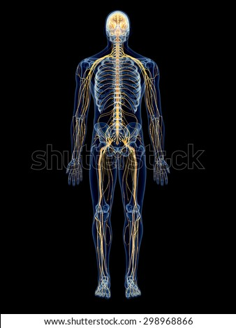 medically accurate illustration of the nervous system - stock photo