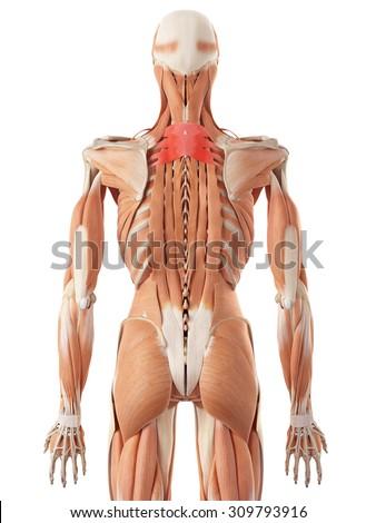 medically accurate illustration of the serratus posterior superior - stock photo