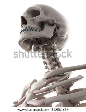medically accurate illustration of the skeletal system - the neck - stock photo