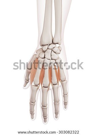 medically accurate muscle illustration of the dorsal interoosseous muscles - stock photo