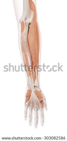 medically accurate muscle illustration of the lower arm muscles - stock photo
