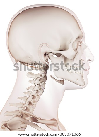medically accurate muscle illustration of the obliquus superior capitis  - stock photo