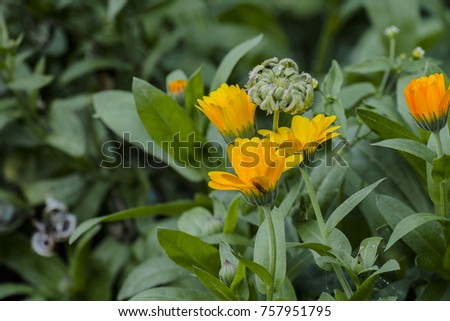 Medicinal herbs yellow flowers seeds marigold stock photo download medicinal herbs yellow flowers and seeds of marigold calendula officinalis mightylinksfo