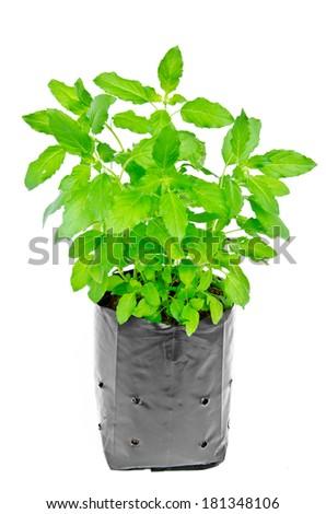 Medicinal holy basil plant isolated on white background - stock photo