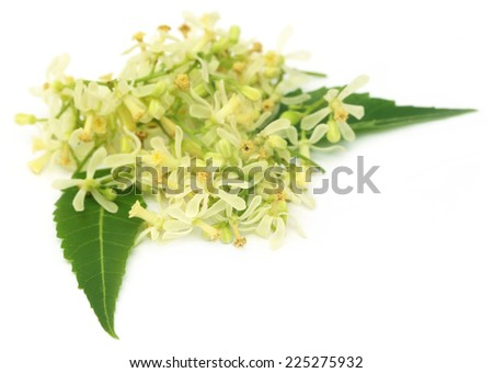 Medicinal neem flower and leaves over white background - stock photo