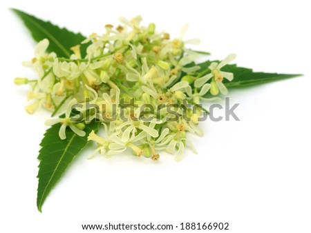 Medicinal neem leaves and flower over white background - stock photo