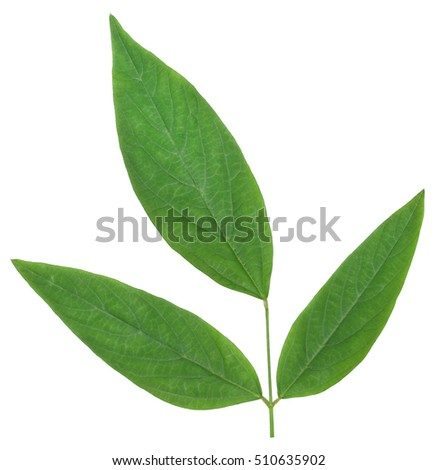 Medicinal pigeon pea leaves over white background