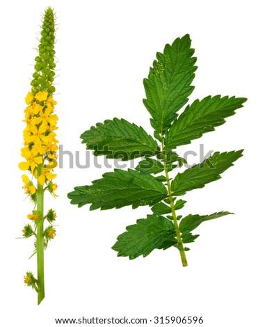 Medicinal plant:Agrimonia eupatoria. Common agrimony - stock photo