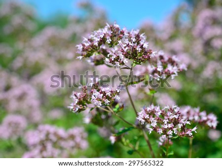 Medicinal plant and spice. Origanum vulgare - stock photo