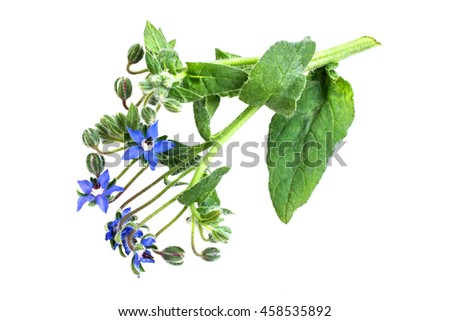 Medicinal plant borage (Borago officinalis), also known as a starflower isolated on a white background. Used in herbal medicine, healthy eating, oil from the seeds is done for cosmetic purposes - stock photo