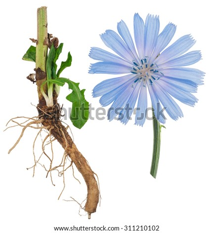 Medicinal plant: Chicory - stock photo